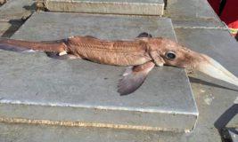Нидерланды,рыба,Химера,