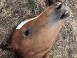Варварские убийства лошадей вызывают повышенную тревогу во Франции