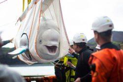Два кита-белуги перевезли в убежище за 6000 миль