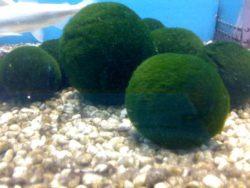 Маримо — чрезвычайно редкие шарики из водорослей, из которых можно сделать отличных домашних животных, не требующих особого ухода