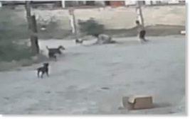 Мексика,собаки,стая собак,нападение,