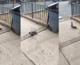 голубь,крыса,