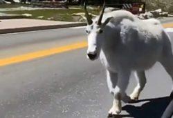 Сенсация: Впервые в мире снято такое животное! Гигантский горный козел удивил пользователей.