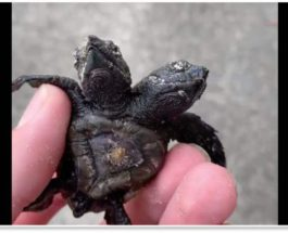 двухглавая черепаха,Барбадос,