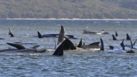 киты тасмания