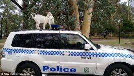 козел полицейская машина
