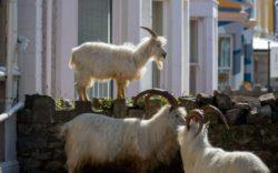Орегон мобилизует стадо коз для борьбы с лесными пожарами