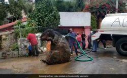 Крысу размером с человека вытащили из канализации в Мексике (ФОТО)