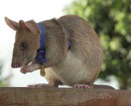 крыса-сапер
