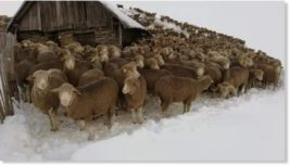 овцы,снег,Альпы,Франция,