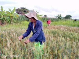 Замбия, пшеница, болезни, патогены,