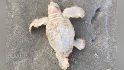 Редкая белая морская черепаха найдена на пляже в Южной Каролине (ФОТО)