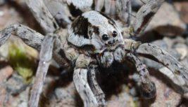 Великобритания, паук-лисица,