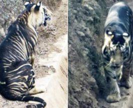 Индия, Тигр,черный тигр,