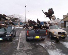 белоголовые орлы, Аляска,