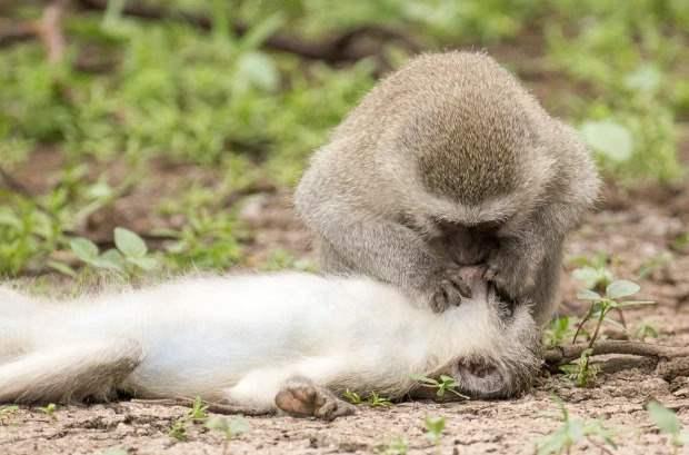 обезьяна, искусственное дыхание,