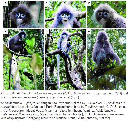 обезьяна, лангур попа,новый вид,