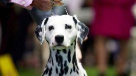 щенок, Огайо, далматинец, собака, пожарная команда,