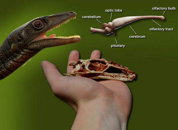 Buriolestes schultzi, мозг, динозавр,