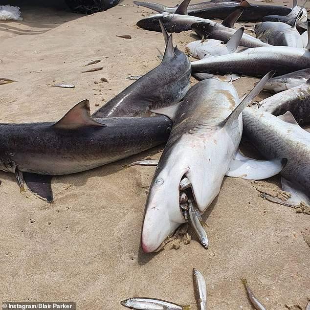 Австралия, мертвые акулы,