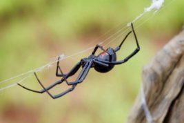 Каракурт, паук, ростовская область,