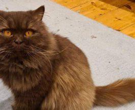 Саутгемптон, кот, русский кот, Великобритания, чип,
