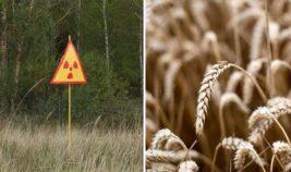 Чернобыль, посевы, радиация,
