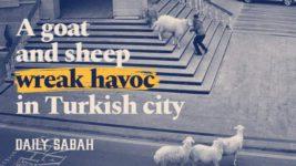 овцы турция