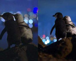 пингвины, Австралия,