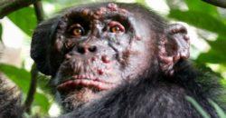 Впервые обнаружен прокаженный шимпанзе: никто не знает, как это произошло