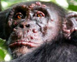проказа, шимпанзе,