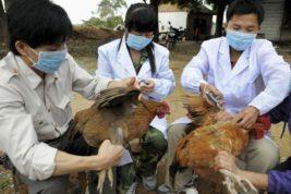 птичий грипп, Хиросима, Япония,