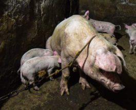Китай, африканская чума свиней,