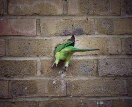 Лондон, попугаи, кирпичная кладка, дом, гнездо,