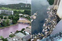 Вода внезапно стала розовой, пахнет гнилью и убивает рыбу в Сингапуре (видео и фотографии)