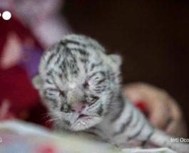 белый тигр никарагуа