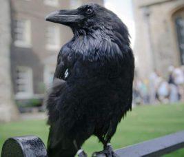 королева ворон, Мерлина, ворон, Англия,