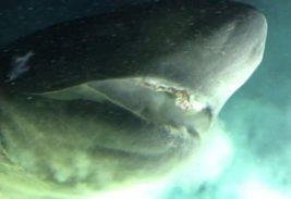 Багамы, акула,