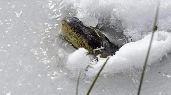 аллигаторы, похолодание, Оклахома, холода,