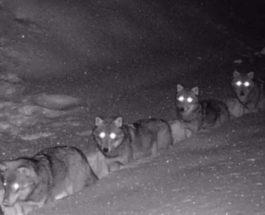 волки, Италия,