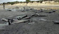 Недавняя массовая гибель китов и дельфинов — признаки солнечной бури, сдвига магнитных полюсов и угасания магнитосферы