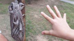 Австралийка сфотографировала гигантского мотылька