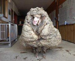 овца, стрижка, Австралия,