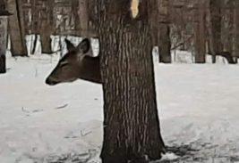 олень, тело, дерево,