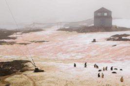 снег, Антарктида, красный снег, зеленый снег, Академик Вернадский,
