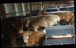 судно, Ливан, коровы,