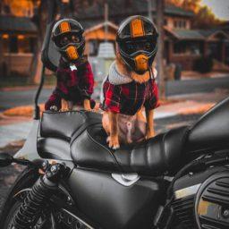 чихуахуа, мотоцикл, шлемы,