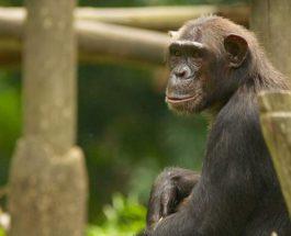 Sarcina troglėtae, шимпанзе, болезнь, Сьерра-Леоне,