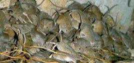 Австралия, мыши,