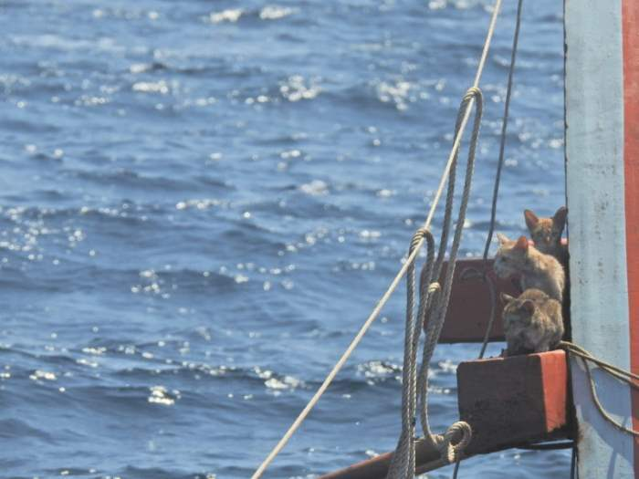 ВМС Таиланда, корабль, Таиланд, кошки, спасение,